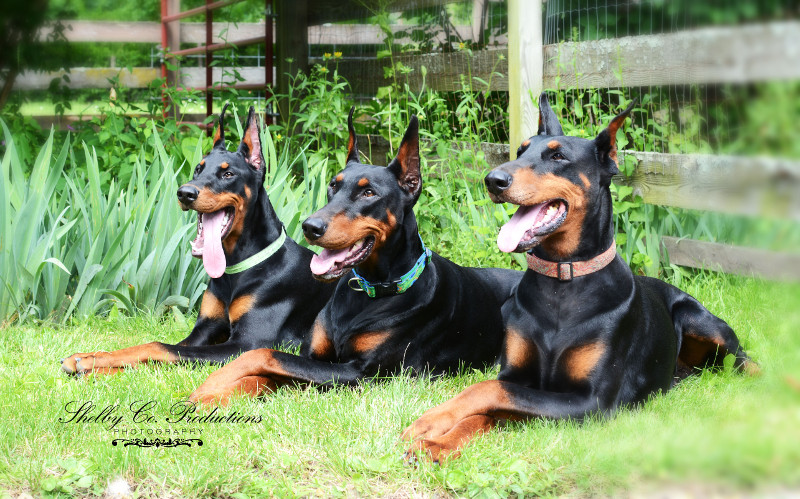 Dagobah Dobermans – Breeding for the Future