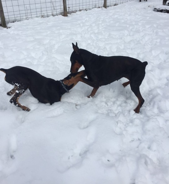 Dogs in Snow 2